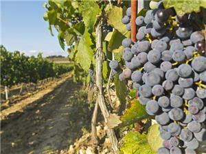 Vineyard in La Rioja ready for harvest