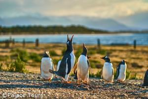 Penguins of Argentina