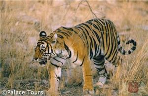 The elusive tiger