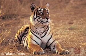 A tiger at Corbett
